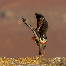 Cross wind landing. by Abraham de Villiers - Animals Birds ( birds, bird photography, bird in flight )