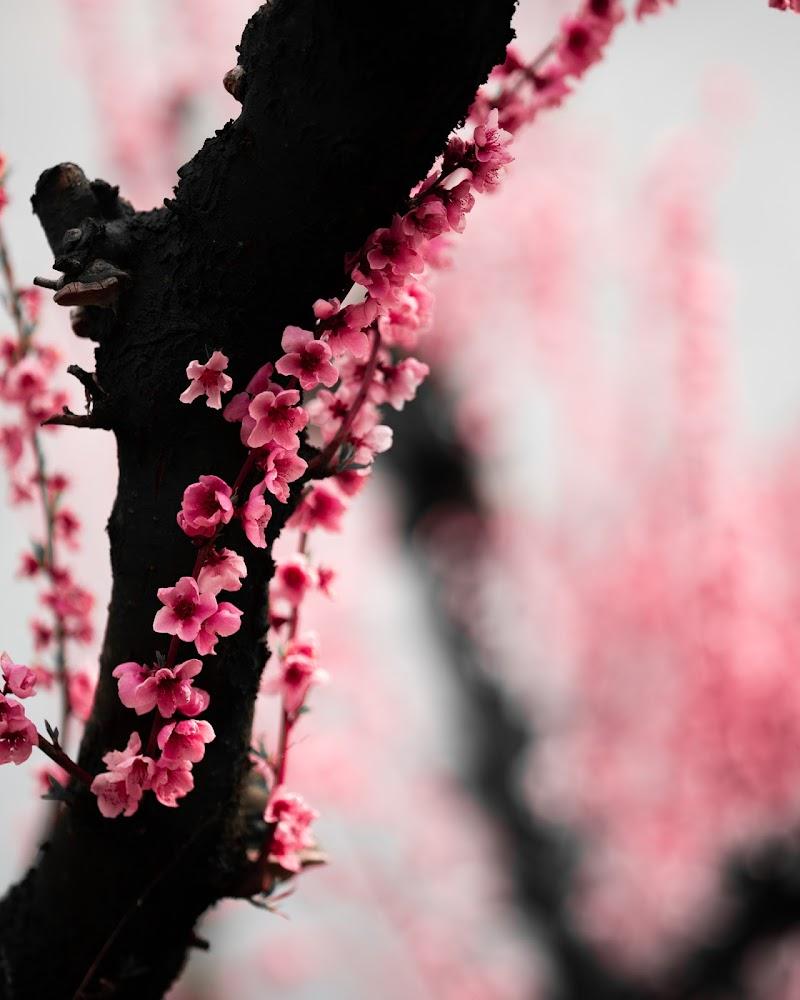 Zen peach flowers di Huyana_pictures