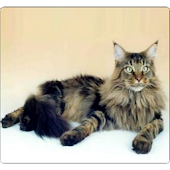 Pet Cat Tom