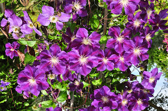 Photo: Clematis 'Star of India' 3