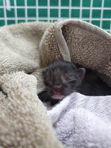 RSPCA Rescued one Day old Kitten Found Alone in Dulwich Garden