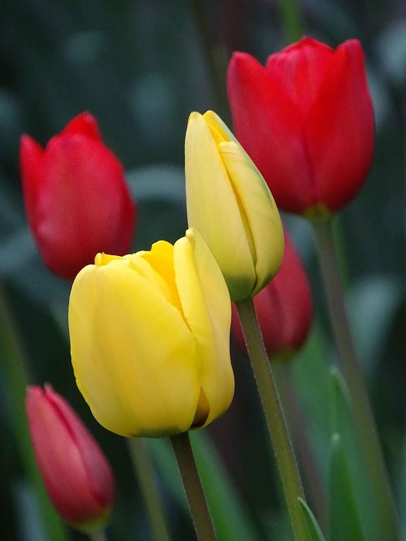 -Tulipani- di dan