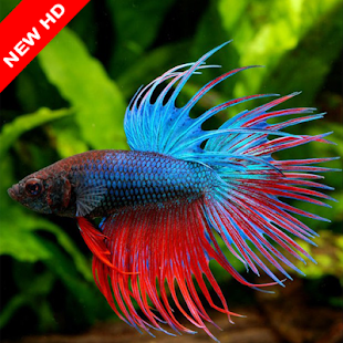 Betta Fish of Contest - náhled