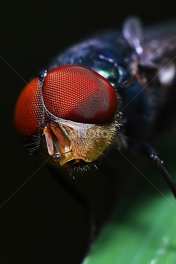 The Red Eyes by Donald Jusa - Animals Insects & Spiders ( wildlife, insect )