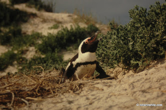 Photo: Boulders Beach, South Africa, July 1998
