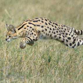 Serval Lightning by Neal Cooper - Animals Other Mammals ( serval cat jumping )