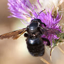 Violet Carpenter Bee; Abejorro Carpintero