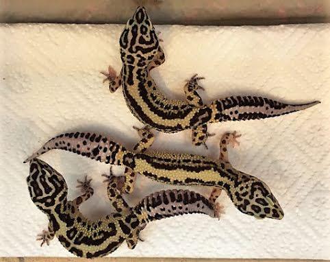 Nya Leopardgeckos