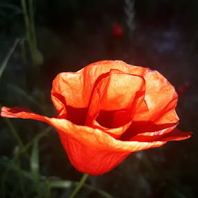 Poppy near me by Nat Bolfan-Stosic - Flowers Flowers in the Wild ( red, poppy, bright, lonely, meadow )