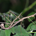 Jumping Stick Insect