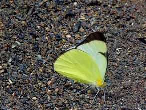 Photo: GOLDEN MELWHITE--melete polyhymnia--RIO CHIGUAZA