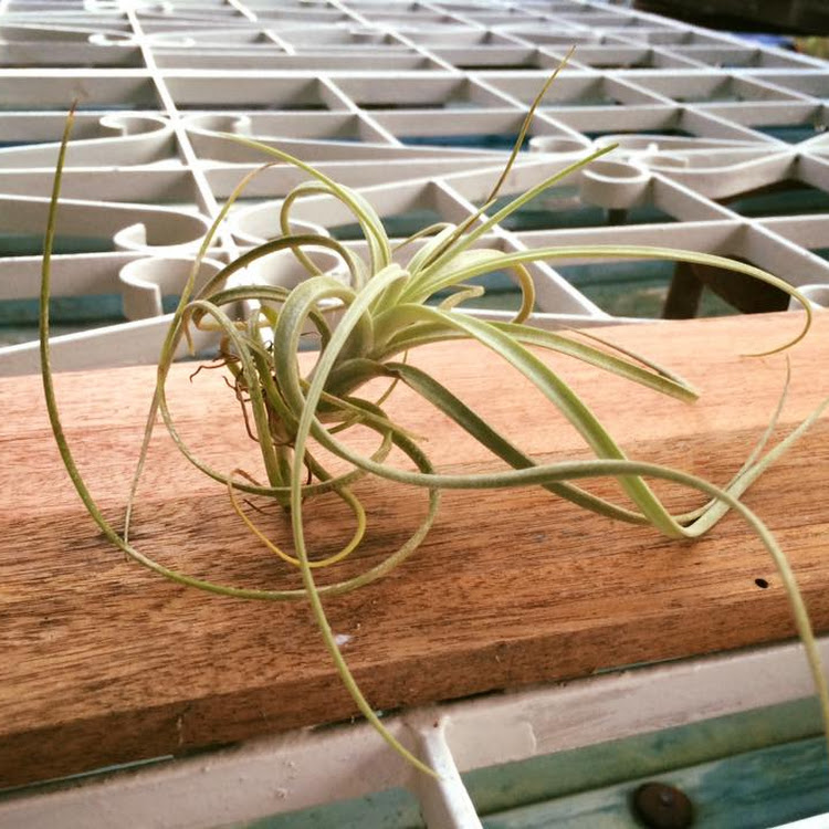 Air Plant Exserta by AquaticsForevers Enterprise