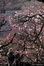 Photo: 梅林内には大阪管区気象台が指定する「梅の標準木(白加賀)」が2本あり、(2014,02,16)