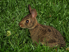 Photo: A young cottontail rabbit homing in on a clover flower (for rabbits, grass is OK but clover is ice cream!)