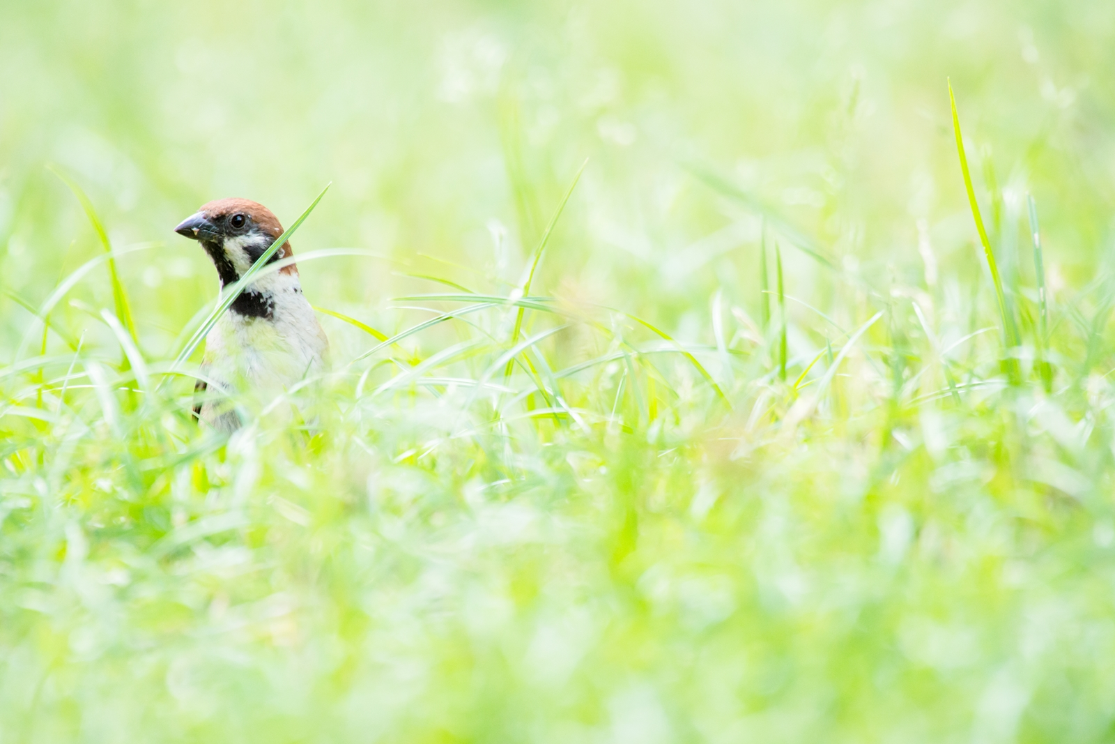 Photo: きょろきょろ Look around restlessly.  周囲を覆う緑の世界 ごはん探しも小さな探検 背を伸ばして キョロキョロキョロキョロ  Sparrow. (雀)  #birdphotography #birds  #cooljapan #kawaii  #nikon #sigma   Nikon D7200 SIGMA APO 50-500mm F5-6.3 DG OS HSM  ・小鳥の詩朗読 /poetry reading https://youtu.be/Ui7OadC7qw8?list=PL2YtHGm0-R3qVsaqvQe9OYdJFCkI98wzF