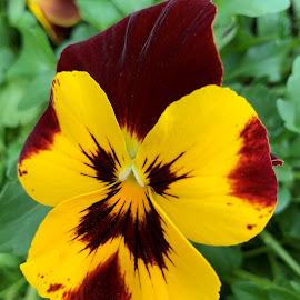 Pansy by Carol Leynard - Instagram & Mobile iPhone ( garden flower, pansy, flower )