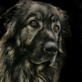 by Vladimir Jablanov - Animals - Dogs Portraits