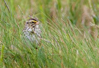 Photo: Savannah Sparrow, Cape St Mary's