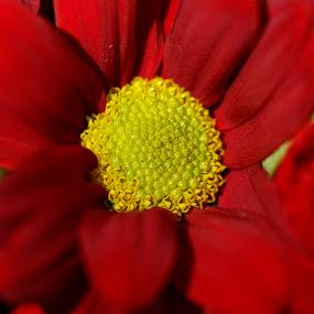 Red flower by Svetoslava Todorova - Flowers Single Flower ( macro, red, nature, wallpaper, flowers,  )