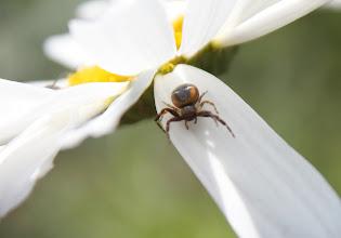 Photo: Synema globosum  ARACHNIDA > Araneae > Thomisidae