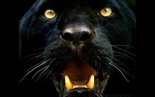 Black Panther Live Wallpaper