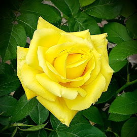 Yellow rose by Patrizia Emiliani - Instagram & Mobile Android ( yellow, rose,  )