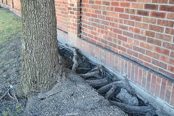 Tree Roots penetrating foundation