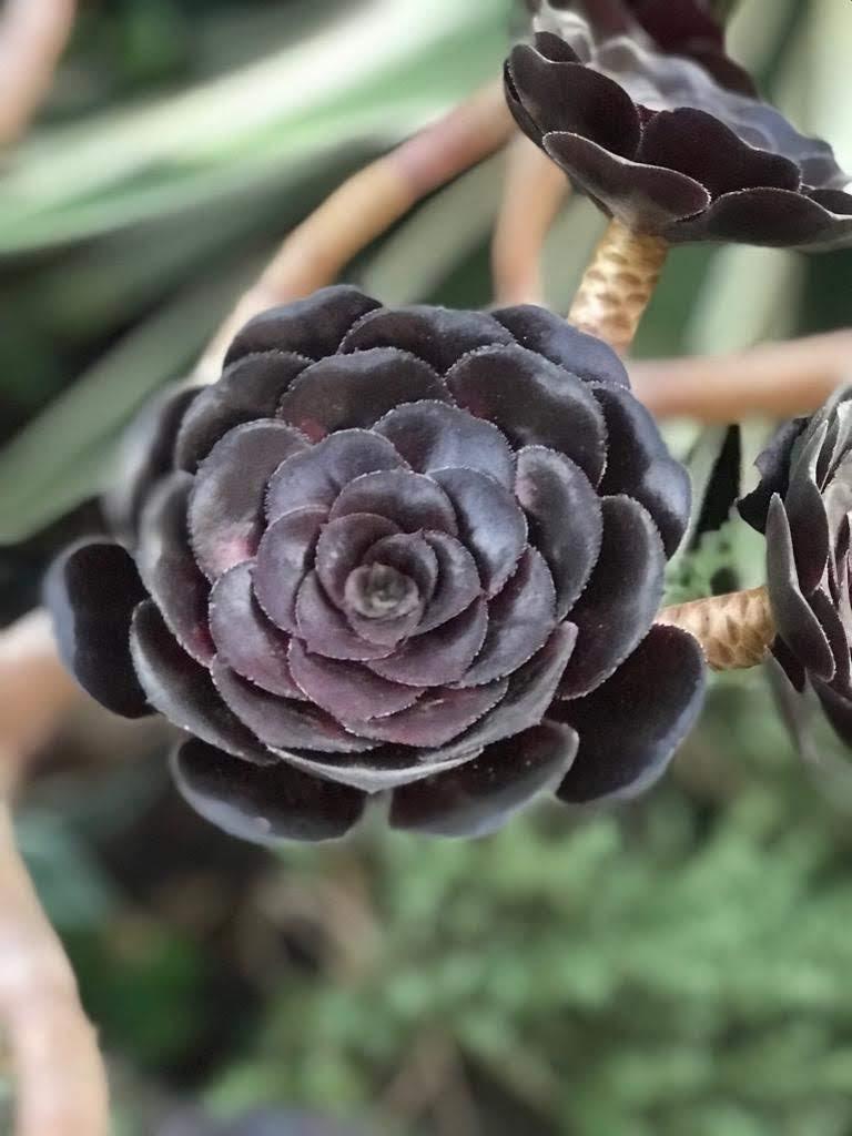 We kennen de naam van deze vetplant niet, maar hij heeft een bijzondere bloeiwijze!