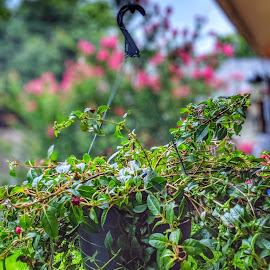fuchsia spread by Bill Kratz - Flowers Flower Buds ( flowers, young, vines, buds, hanging )