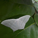 Spotted swallowtail moth