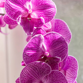 Purple Orchid by Jeff McVoy - Flowers Single Flower ( beautiful, flowers, blossom, blossoms, violet, purple, sunny, orchid, flower,  )