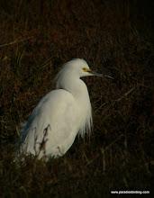 Photo: Snowy Egret skulking at Palo Alto Baylands.