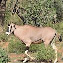 Oryx  -  Beisa Oryx, Swahili:Choroa
