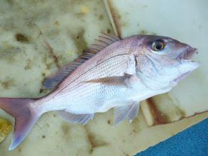 Photo: いいねー! 真鯛!きれいですねー!