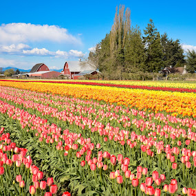 Tulip Town Blooming.. by Anand Kannan - Landscapes Prairies, Meadows & Fields ( pwcflowergarden )