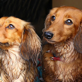 Two Gorgeous Girls by Chrissie Barrow - Animals - Dogs Portraits ( dogs, dachshund (miniature long haired), white, noses, portrait, eyes, red, damp, female, pet, ears, fur, wet, tan,  )