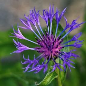 purple flower by Donna Davis Kasubeck - Flowers Single Flower (  )