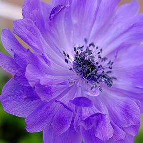 Anemone Purple by Millieanne T - Flowers Single Flower