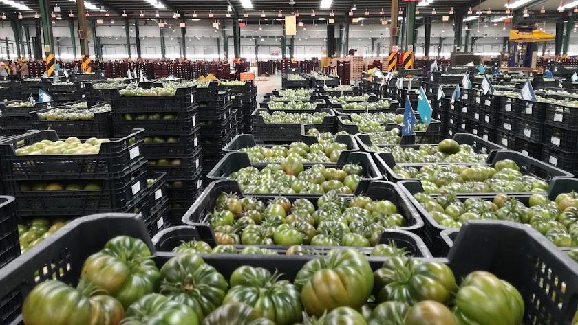 Los ingresos por exportación de tomate cayeron un 7%