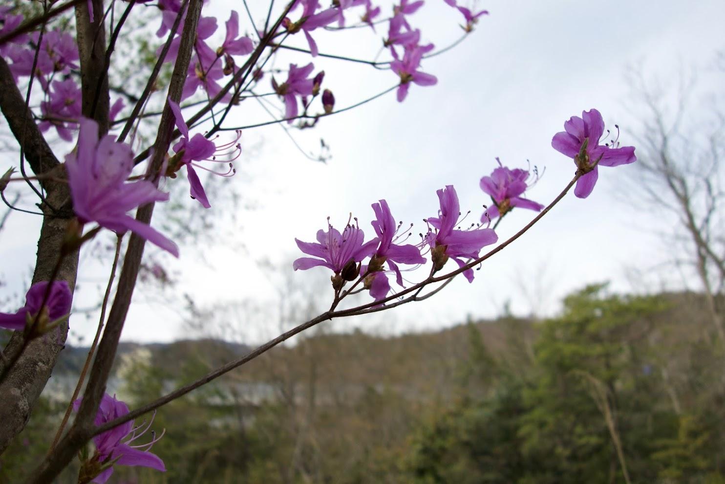 Rhododendron Reticulatum?