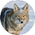 Coyote (Animal) Sounds file APK for Gaming PC/PS3/PS4 Smart TV