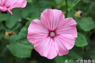 Photo: 拍攝地點: 梅峰-溫帶花卉區 拍攝植物: 花葵 拍攝日期: 2014_04_16_FY