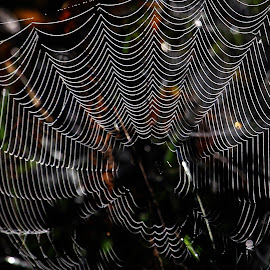 Wet Web by Bruce Arnold - Nature Up Close Webs (  )