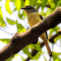 Small minivet- Female