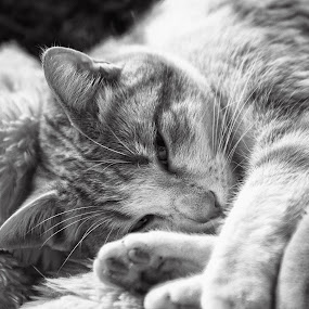 film noir by Ani Desu - Animals - Cats Portraits