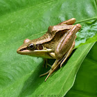 Guenther's Frog