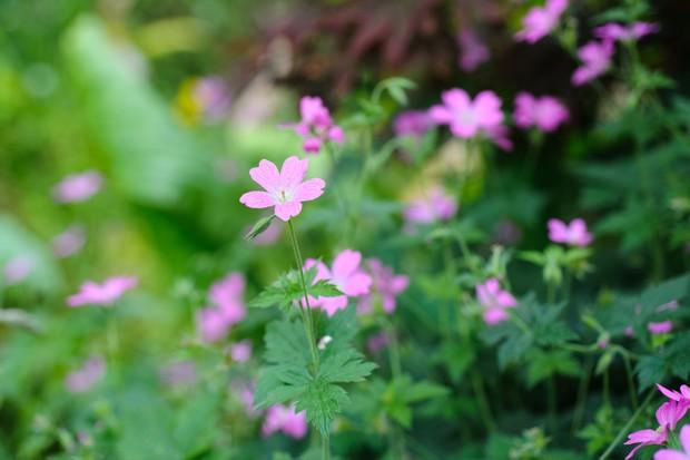 Geranium 'Wargrave Pink'