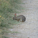 Mexican cottontail