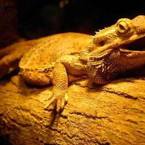 Australian Bearded Dragon by BoonHong Chan - Animals Amphibians ( samsung )