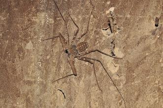 Photo: whip spider in my hut
